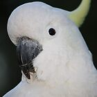 Close-up of a Cockatoo by aussiebushstick