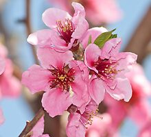 peach flowers close-up by bruno paolo benedetti