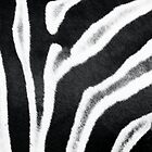 Zebra Stripes III by Beth Wold