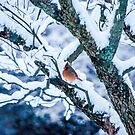 Female Cardinal In Snowy Tree by mcstory