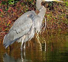 Grey Heron Watching and Waiting   (1404118139VA) by photroen