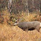 Mule Deer Buck by Tracy Friesen