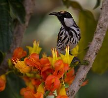 White Cheeked Honeyeater on Black Bean Tree by JLOPhotography