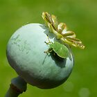 Common Green Shieldbug 4th instar nymph by Kawka