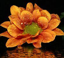 Mustard Chrysanthemum by Dipali S