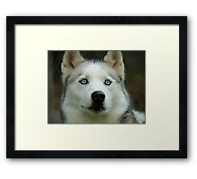 Look Into My Baby Blues!!! - Siberian Husky - NZ Framed Print