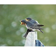 Me..ME...MEEE.... First!!! - Welcome Swallows - NZ Photographic Print