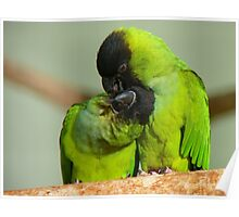 This Is Simply Heavenly!!! - Nandae Conures - NZ Queenspark Poster
