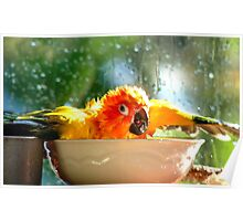 I'm Singing In The Rain..!!! - Sun Conure - NZ Poster