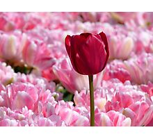 Oops... I Don't Think I Belong Here... - Tulip Plantation - NZ Photographic Print