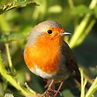 Robin Between The Thorns by CBoyle