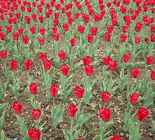 Lots of Red Tulips by AnnArtshock