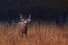 In Autumns Fields - White-tailed deer by Jim Cumming
