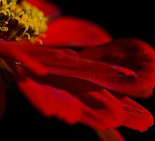 Red Petals  by Nicole  Markmann Nelson