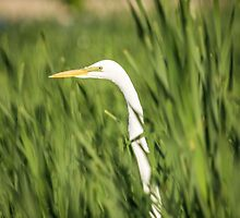 Great Egret In The Cattails by Thomas Young