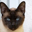 Gorgeous Bluepoint Siamese Cat by Mythos57