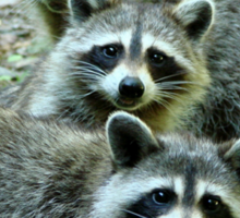 Three Raccoon Sticker