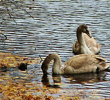 Cygnets in Autumn by Gilda Axelrod