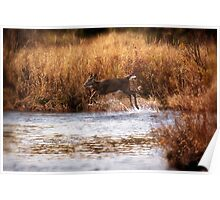 White Tail Deer jumping into the Creek - Parc National Mont Tremblant Poster