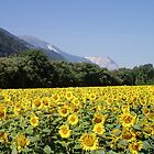 Sunflowers by Kath Cashion