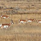 Prairie Pronghorn by JamesA1