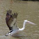 Pelican.IMGP3598. by Murray Wills