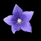 Pretty Little Purple Balloon Flower by BlueMoonRose