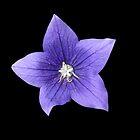 Pretty Little Purple Balloon Flower by BlueMoonRose
