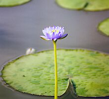 Kakadu Lily by Stephen Kilburn