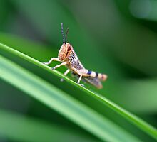 Grasshopper on Grass by Mark Snelson