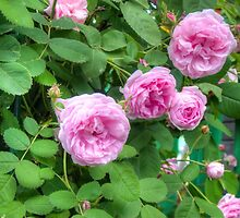 Pink Roses in the Garden 2 by AnnArtshock