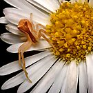 Crab Spider by Frank Yuwono