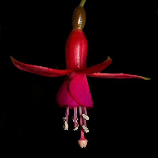 Fuchsia by Frank Yuwono