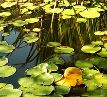 Lilly Pads by Stephen Mitchell