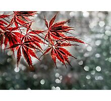 Japanese Red Maple Leaves  Photographic Print