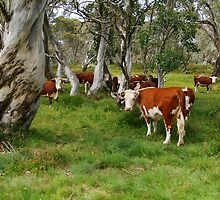 Mountain Cattle, Victorian High Country by Joe Mortelliti