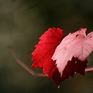 Grape leaves by Robyn Lakeman