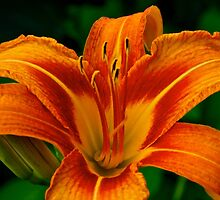 Frilled and Fragrant by John Butler