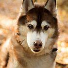 Husky 4 by Rebecca Cozart