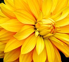 Golden Dahlia by John Butler