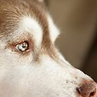 Husky 6 by Rebecca Cozart