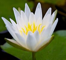 Pure, White Lotus by John Butler