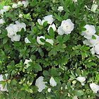 White Azaleas! Back Patio, Spring. 'Arilka' S.Aust. by Rita Blom