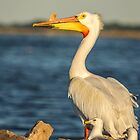 White Pelican and Pals by Thomas Young