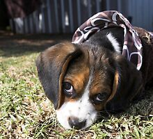 Frankie the Beaglier by tbgphoto