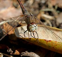 Dragonfly Smile by Mark Snelson