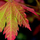 Stunning Autumn Leaf by Emma Newman