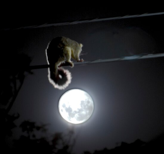 Possum & The Moon by Alexander Kesselaar