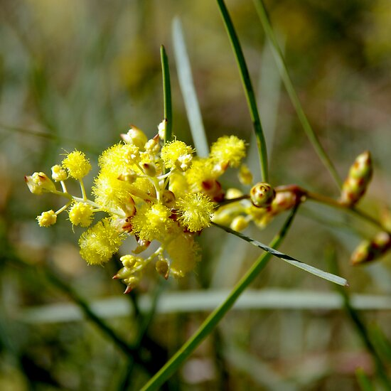 Golden Wattle by Emma Newman