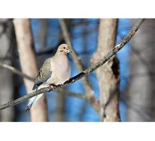 Mourning Dove in the Woods Photographic Print